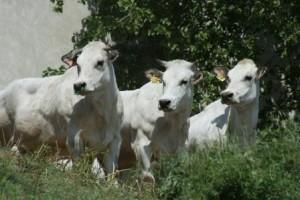 Vacche 2