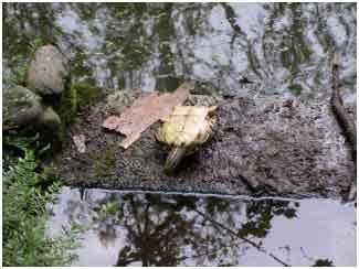 Il laghetto dei giardini pubblici un tuffo nel passato for Tartarughe nel laghetto
